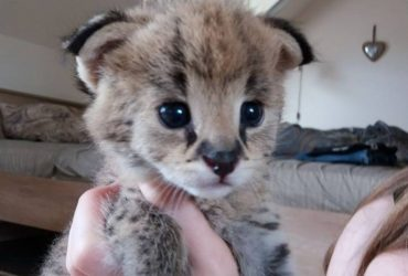 Disponibili gattini Savannah, serval e caracal